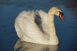 Cygne au lac de Machilly